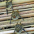 Costa Rican Bats by Al Bourassa