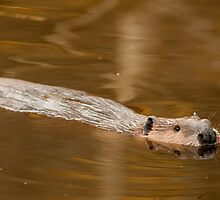 Beaver Fever by Jay Ryser