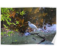 Egret at Echo Lake Park Poster