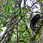Howler Monkey, Costa Rica by Al Bourassa
