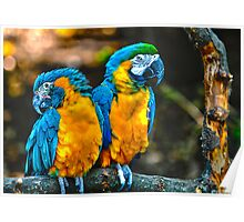 Macaws at Cincinnati Zoo Poster
