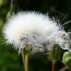 White Fluff by claire87