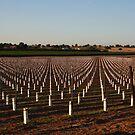 The New Vineyard by CherylBee