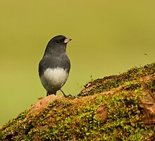 Dark-eyed Junco on Moss Covered Log by Bill McMullen