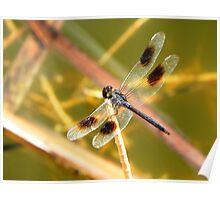 Blue Skimmer Dragonfly Poster