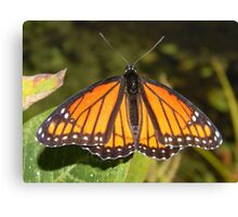 Monarch male basking in the sun. Canvas Print