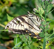 A male Eastern Tiger Swallowtail. by William Brennan