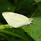 Cabbage white butterfly. by William Brennan