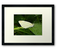 Cabbage white butterfly. Framed Print