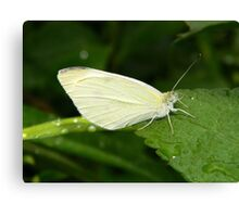 Cabbage white butterfly. Canvas Print