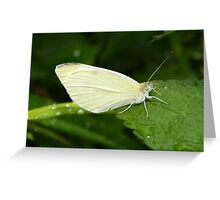 Cabbage white butterfly. Greeting Card
