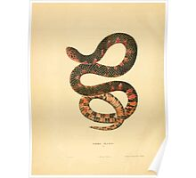 North American Herpetology A Desciption of the Reptiles Inhabiting the United States Chichowski John Edwards Holbrook 1836  0220 Snake Poster