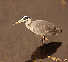 Reflection of a Heron by mikeloughlin