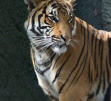 Malayan Tiger Male by Kathy Newton