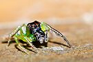 Bali Green Jumping Spider by Normf