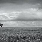 Canola Fields by Joel McDonald