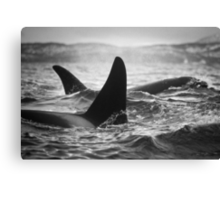 Orca Crossing - Tysfjord, Norway Canvas Print