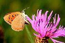 Small Copper Butterfly by Jo Nijenhuis