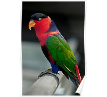 Black Capped Lory Poster
