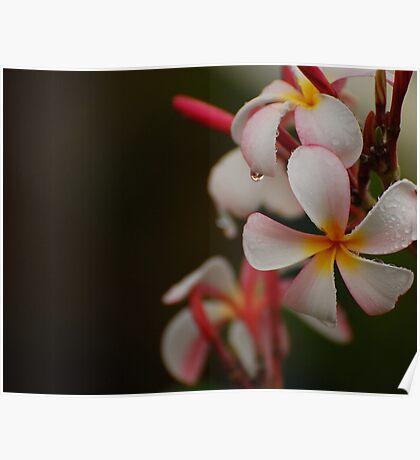 Plumeria Drops Poster
