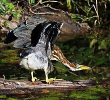 Green Heron with an Attitude  by Chuck Gardner