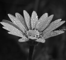 Black and White Daisy with rain drops by dizzyg