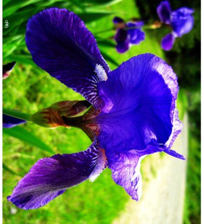 blue iris magic Sticker