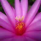 Zygocactus (Easter Cactus) Flower  by Vanessa Barklay