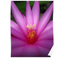 Zygocactus (Easter Cactus) Flower  Poster