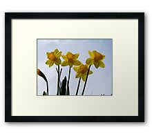 The first Daffodils of spring! Framed Print