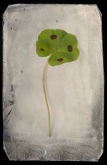 Four Leaf Clover by Catherine Hadler