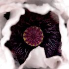 Ornamental Poppy by pixel8it