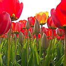 Vibrant orange tulips by Lindie Allen