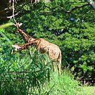 Giraffes Eating by lincolngraham