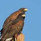 Harris Hawks by tomryan