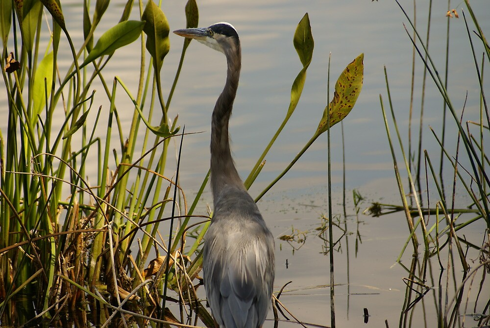 BLUE HERON IN PARADISE by humorous