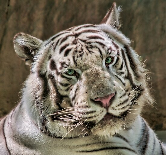 (Not So) White Tiger by HelenBeresford