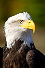 Bald Eagle Portrait by Val Saxby