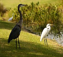 BLUE HERON AND EGRET IN PARADISE by humorous