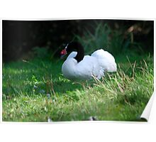 Black Necked Swan Poster