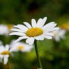 Daisy  by Cara Merino