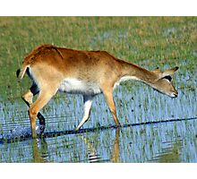 Red lechwe in the delta Photographic Print