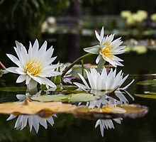 White lotus flowers by Cara Merino