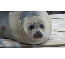 Cute Little Seal Photographic Print