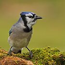 Blue Jay on Moss Covered Log by Bill McMullen