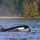 Orca II by zumi