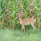 Young Buck In Velvet 1-2015 by Thomas Young