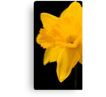 Daffodils on black background Canvas Print