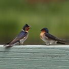 Welcome Swallows - Hirundo neoxena by Barb Leopold
