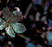 prunus blossom, rutherglen, victoria by Georgina James